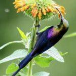 Tacazze Sun bird in Uganda