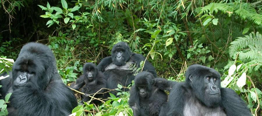 Gorilla Trekking Tours in Uganda
