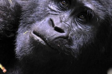 Gorilla Trekking Safari Tours