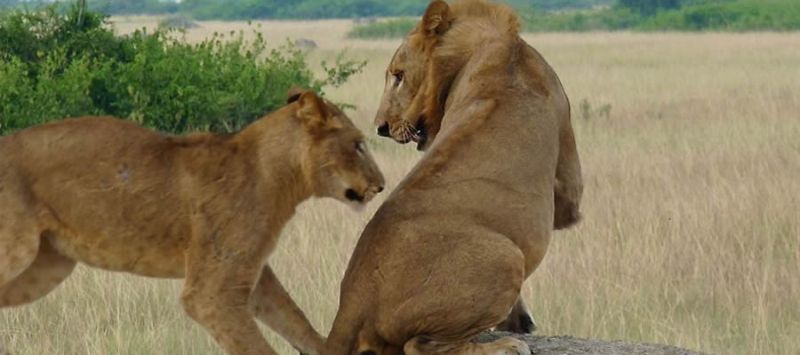 Lion Tracking Safaris in Uganda