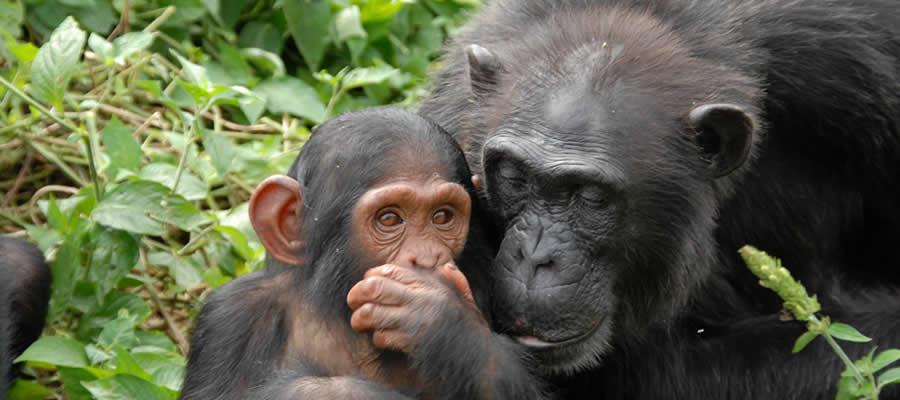 Chimpanzee Viewing at Ngamba Island