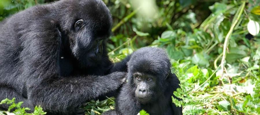 Gorilla Safari Tours in Uganda