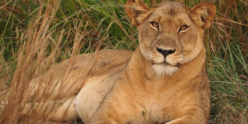 Lion Tracking Adventures in Uganda